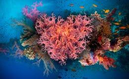 Walentynki serce robić korale (Dendronephthya hemprichi) Zdjęcie Royalty Free
