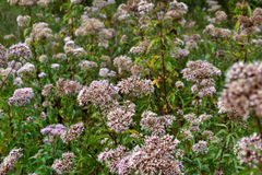 Walerianowi kwiaty. Fotografia Royalty Free