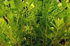 Walerianowi roślina liście Obrazy Stock