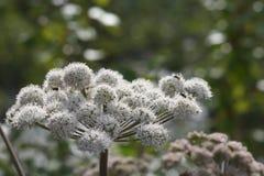 Walerianowi Valeriana officinalis w kwiacie Obraz Stock