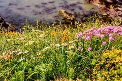 Wales coastal path flora Royalty Free Stock Image