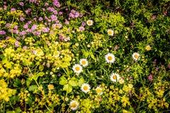 Wales coastal path flora Royalty Free Stock Photo
