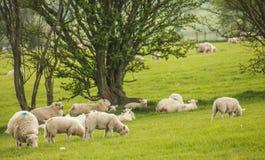 Wales, Großbritannien - grüne Wiesen, Bäume und Schaf lizenzfreies stockfoto