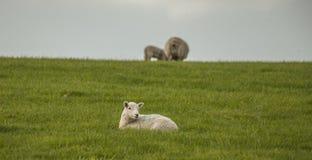 Wales, Großbritannien - grüne Wiesen und Schafe stockfoto