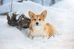 Walesisk Corgi i snö Arkivbild