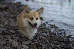 Walesisk Corgi Pembroke Dog Walking vid vatten royaltyfria bilder