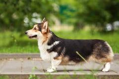 Walesisk CorgiPembrokehund Royaltyfri Bild