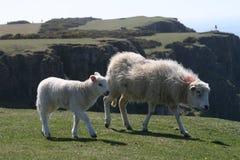 Walesiska får Royaltyfria Bilder