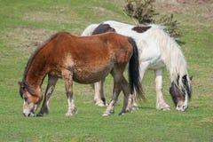 Walesiska ponnyer Royaltyfria Foton