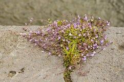 Walflower sur un mur de quai photo stock