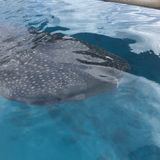 Walhai herauf nahes und persönliches lizenzfreie stockbilder