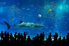 Walhai umgeben durch Fische Stockfoto
