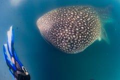 Walhai und Taucher Unterwasser lizenzfreies stockbild