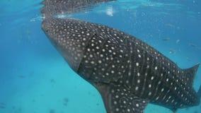 Walhaifilter, der unter Wasser einzieht stock video footage