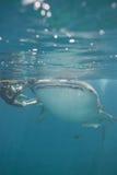 Walhaifisch Stockbilder