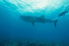 Walhaifisch und -taucher Stockbild