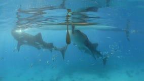 Walhaiunterwasser Krill einziehend stock video footage