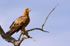 Walhlberg's Eagle sitting on branch Stock Image