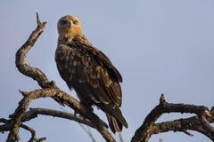 Walhlberg& x27; s Eagle che si siede sul ramo del cielo blu morto dell'albero Fotografia Stock