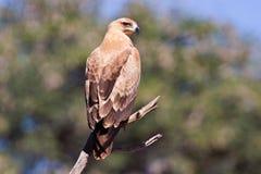 Walhlbergs Eagle, das auf Niederlassung sitzt Lizenzfreies Stockbild