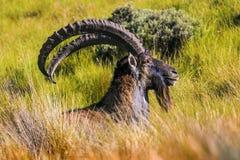 Walia Ibex, Simien Mountains Royalty Free Stock Photos