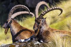 Walia Ibex, Simien Mountains Stock Images