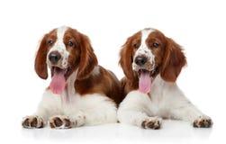 Walijscy Springera spaniela psy zdjęcia stock