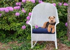 Walijski terier na łozinowym kołysa krześle w ogródzie zdjęcie stock