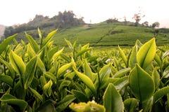 Walini φυτειών τσαγιού, Ciwalini, Bandung, Ινδονησία στοκ εικόνες