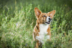 Waliser-Corgi auf dem Gras lookin oben Stockfotografie