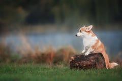 Waliser-Corgi Pembroke auf dem Gras am sonnigen Tag des Sommers lizenzfreie stockbilder