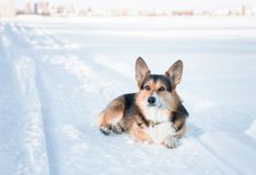 Waliser-Corgi Pembrokehund draußen im Winter Winterporträt des netten Corgi lizenzfreie stockbilder
