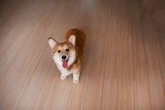 Waliser-Corgi Pembrokewelpe zu Hause, glücklicher lächelnder Hund lizenzfreies stockbild