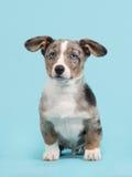 Waliser-Corgiwelpe mit blauen Augen und hängenden den Ohren, die auf einem b sitzen Stockfoto