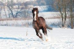 Waliser-galoppieren braune Pony Stallionlack-läufer in Frontseite Stockfotos