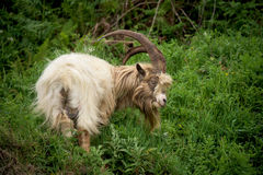 Waliser-Gebirgsziege auf Hügelseite, Snowdonia, Großbritannien stockfotografie