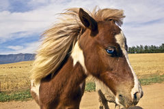 Waliser-Pony Stockfoto