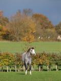 Waliser-Pony in der schönen Leuchte Lizenzfreie Stockfotos
