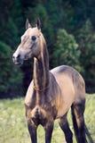 Waliser-Ponyhengst der dunklen Bucht sportiver, der nahe Herbstbäumen aufwirft lizenzfreies stockfoto