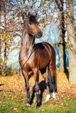 Waliser-Ponyhengst der dunklen Bucht sportiver, der nahe Herbstbäumen aufwirft lizenzfreie stockfotos