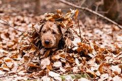 Waliser Terrier Stockfotografie