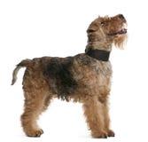 Waliser-Terrier, 7 Jahre alt, Stellung stockfotografie