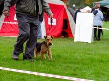 Waliser Terrier auf Hundeshow Stockfotos