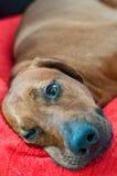 Waliser-Terrier fasten schlafend Lizenzfreie Stockfotografie