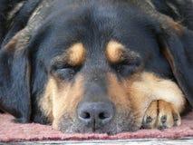 Waliser-Terrier fasten schlafend Stockbilder