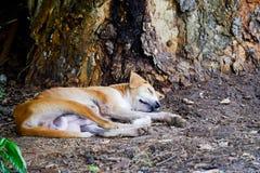 Waliser-Terrier fasten schlafend Stockfoto