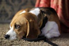 Waliser-Terrier fasten schlafend stockbild