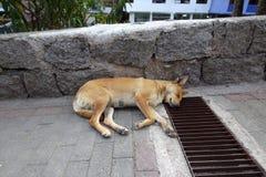 Waliser-Terrier fasten schlafend lizenzfreies stockfoto