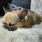 Waliser-Terrier fasten schlafend Lizenzfreie Stockbilder