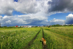 Walk across the field with a dog. Walk across the field with the dog, under Cumulus clouds, near the village summer day, brings joy Royalty Free Stock Photos